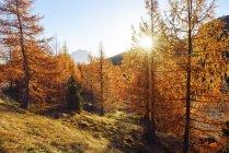 Italia, Dolomitas, Cadore, Belluno, alerce del bosque color naranja otoño en iluminación durante el día - foto de stock