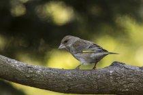 Pájaro Verderón en busca de rama de árbol, vista lateral - foto de stock