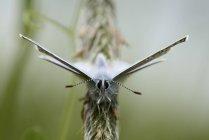 Gemeinsame blauer Schmetterling — Stockfoto