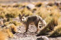 Volpe di Cile, Ande, Andina, Dusicyon culpaeus, nel deserto di Atacama — Foto stock