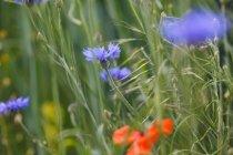 Синій волошки на відкритому повітрі, великим планом — стокове фото