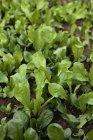 Свежий зеленый салат, растущих в овощной сад — стоковое фото
