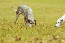 Две собаки на лугу нюхают траву — стоковое фото