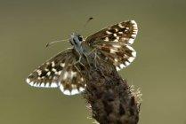 Pyrgus malvae butterfly — Photo de stock