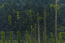 Германия, Бавария, Аттенхофен, хоп сад в дневное время — стоковое фото