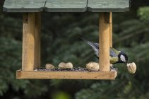 Great tit eating piece of peanut in a birdhouse — Stock Photo