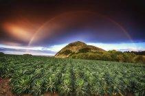 Великобританія, Шотландії, Східний Лотіан, Веселка над полем Брюссельська капуста — стокове фото