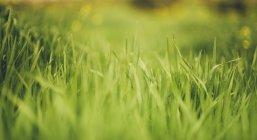Verde hierba en el fondo borroso - foto de stock
