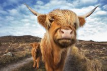 Highland cattle with with calf at LaideScotland, UK — Stock Photo