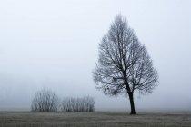 Autriche, Mondsee, arbre nu dans la brume du matin — Photo de stock