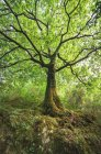 Spanien, Galicien, Ferrol, flache Aufnahme eines Baumes im Wald — Stockfoto