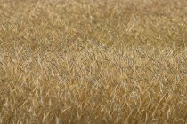 Campo de grano vista de cerca - foto de stock