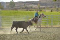 Ковбойский скот — стоковое фото