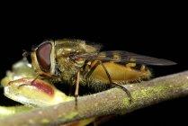 Hoverfly sentado en planta cerrar vista - foto de stock