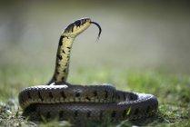 Cobra com língua de fora — Fotografia de Stock