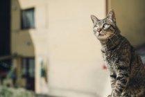 Tabby gato assistindo algo — Fotografia de Stock