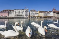 Switzerland, Canton of Lucerne, Lucerne, Old town, Reuss river with white swans in sunshine — Stock Photo