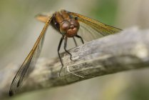 Libellula fulva dragonfly — Stock Photo