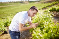 South Africa, Wine grower scrutinizing grapevines — Stock Photo