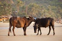 Vacas de India, Karnataka, na praia de Kudle, perto de Gokarna — Fotografia de Stock