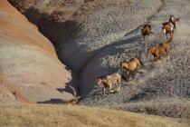 США, штат Вайоминг, шесть диких лошадей, работающих в бесплодные земли — стоковое фото