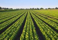 Landschaft mit grünen Salat Sichtfeld — Stockfoto