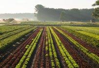 Paisagem agrícola com legumes e alface campos em névoa nebuloso — Fotografia de Stock