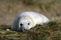 Молодий сірий ущільнення, лежав на луг в денний час — стокове фото
