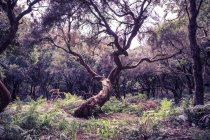 Daytime view of branchy laurel tree in the wood — Stock Photo