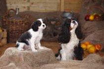 Dos Cavalier King Charles Spaniels sentados en yute frente a la decoración campesina - foto de stock