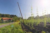 Германия, Зальцбург, Нойштедтер, хмелевое поле и дом на фоне деревьев — стоковое фото
