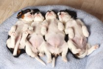 Row of four sleeping Cavalier King Charles Spaniel puppies lying on back on blanket — Stock Photo