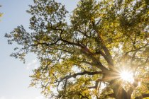 Чехія, м. Ледніце, краєвид саду з Мікулова, старий дуб — стокове фото