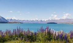 Нової Зеландії, Південного острова, озеро Tekapo, Рассел Люпин, Люпин polyphyllus — стокове фото