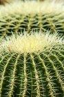 Golden Barrel Cactus, Echinocactus grusonii, close-up — Stock Photo