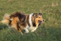 Шетландская овчарка бегает по лугу — стоковое фото