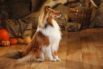Shetland Sheepdog sitting on wooden floor in barn — Stock Photo