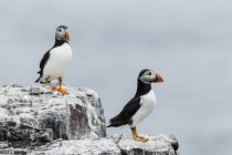 Regno Unito, Inghilterra, Northumberland, Farne Islands, Pulcinella di mare Atlantico, Fratercula arctica, uccelli di Pulcinella di mare sulla roccia — Foto stock