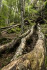 France, Pyrenees, Northern Catalonia, Valle de Orlu, forest, tree trunks during daytime — Stock Photo