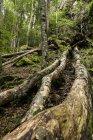 Франції Піренеях Північної Каталонії, Valle de Орлю, ліс, стовбурів денний час — стокове фото
