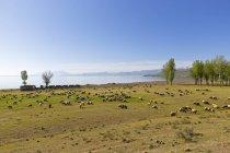 Türkei, Anatolien, Ostanatolien, Bitlis Provinz, in der Nähe von Tatvan, Lake van und Schafherde — Stockfoto