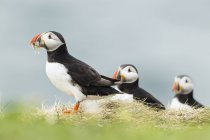 United Kingdom, England, Northumberland, Farne Islands, Atlantic puffins, Fratercula arctica, Puffin birds on meadow — Stock Photo