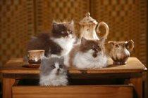 Três gatinhos British Longhair na mesa de madeira com serviço de chá — Fotografia de Stock