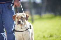 Portrait of guide dog with owner — Stock Photo