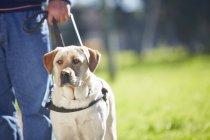 Портрет собаки-поводирі з власником — стокове фото