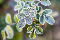 Morning frost on rosehip leaves — Stock Photo