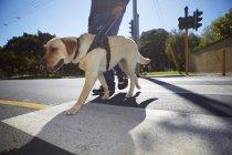 Uomo ipovedente che attraversa una strada con il suo cane guida — Foto stock