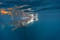 Mexiko, Yucatan, Isla Mujeres, Karibik, Walhai Rhincodon Typus, Essen plankton — Stockfoto