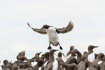 Common murre flying over flock of birds — Stock Photo