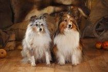 Two Shetland Sheepdogs sitting side by side in barn — Stock Photo